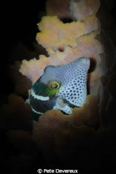 Night dive cameo taken with torchlight as forgot to recha... by Pete Devereux 